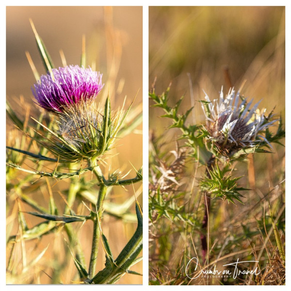 Thistles, Photos from Abruzzo region in Italy