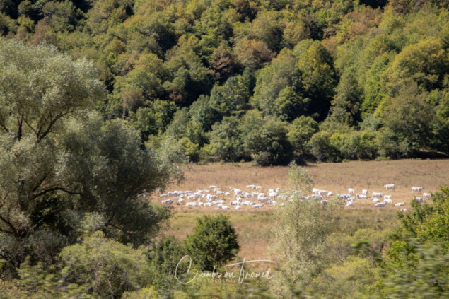 Cattle, Photos from Abruzzo region in Italy