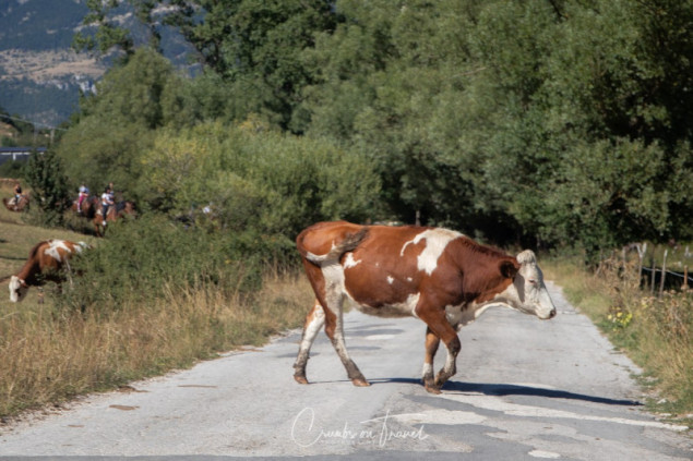 Cow, Photos from Abruzzo region in Italy