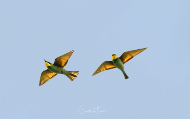 Bee-eaters, Photos from Abruzzo region in Italy