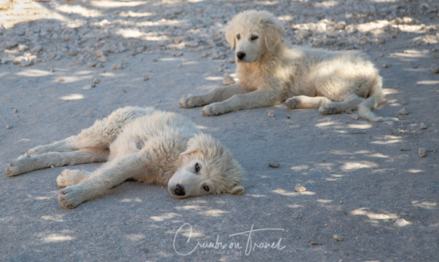 Maremmano Abruzzese puppy dogs, Photos from Abruzzo region in Italy