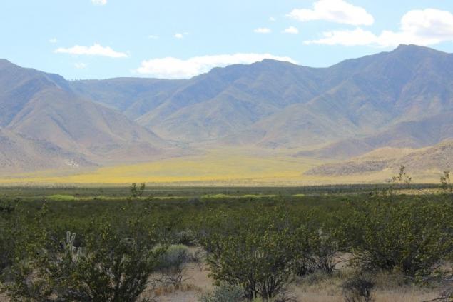 Flowers in the Anza Borrego Desert State Park, California/USA