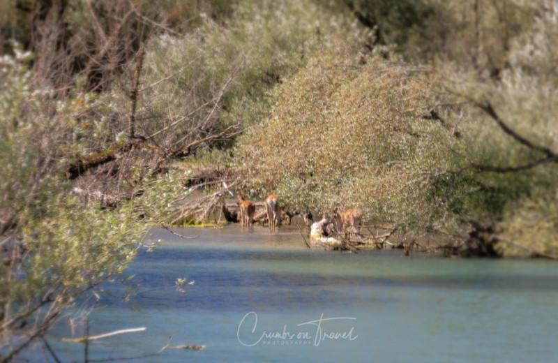 Deer, Lake Barrea in Abruzzo/Italy