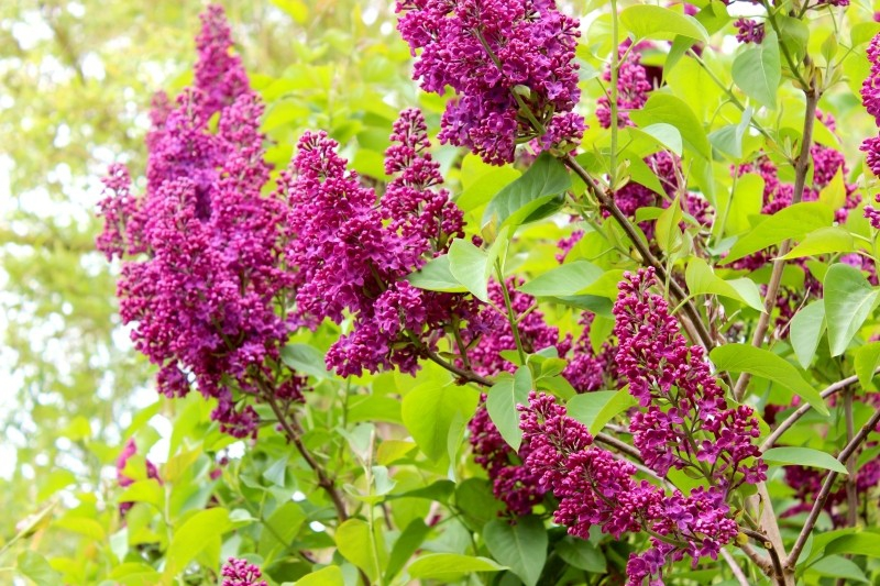 Red lilac flowers