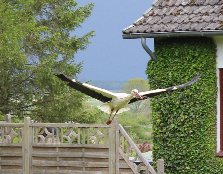 Flying stork, Bergenhusen, Schleswig-Holstein, Germany