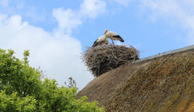 Nest of storks, Bergenhusen, Schleswig-Holstein, Germany
