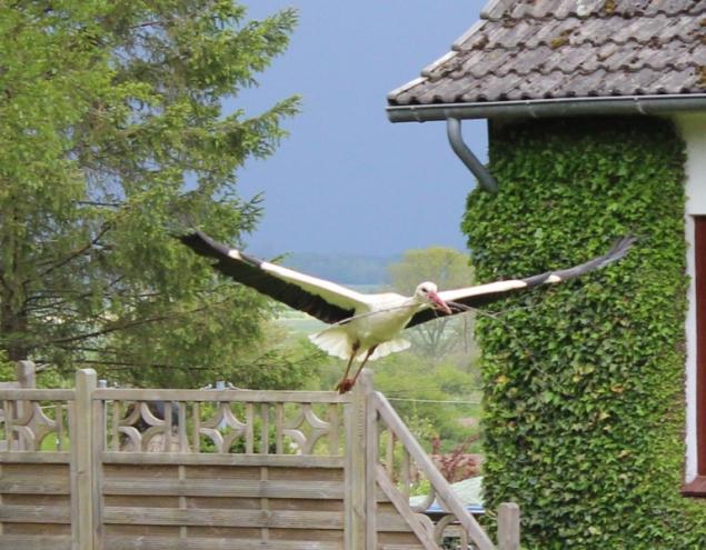 Flying stork, Bergenhusen, Schleswig-Holstein, Germany