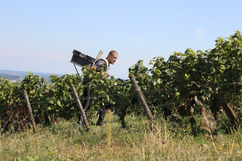 Collecting Grapes in Vineyards, Burgundy/France