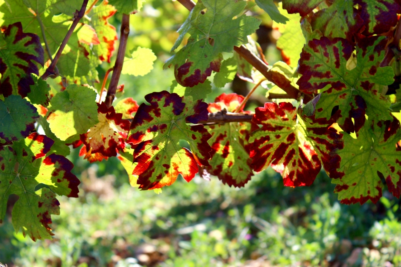 Wine Leaves