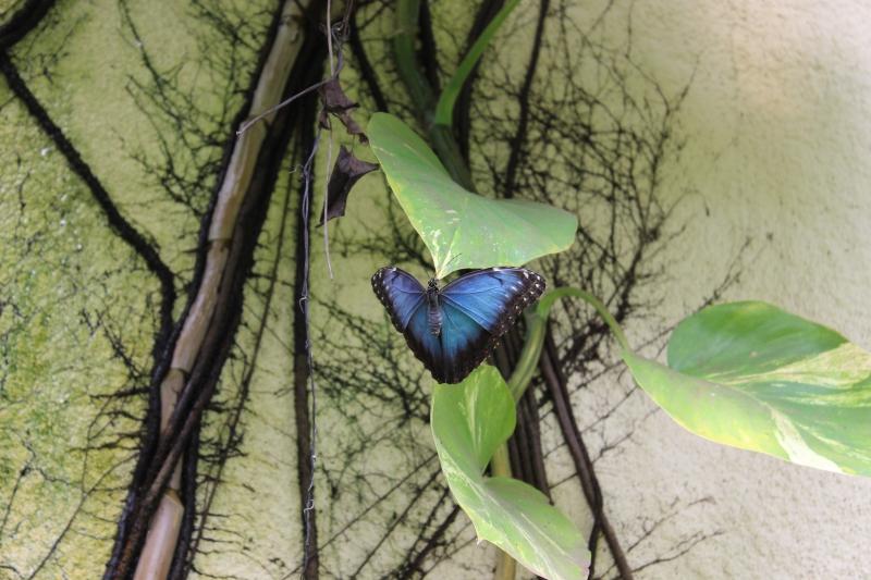 Peleides Blue Morpho butetrfly