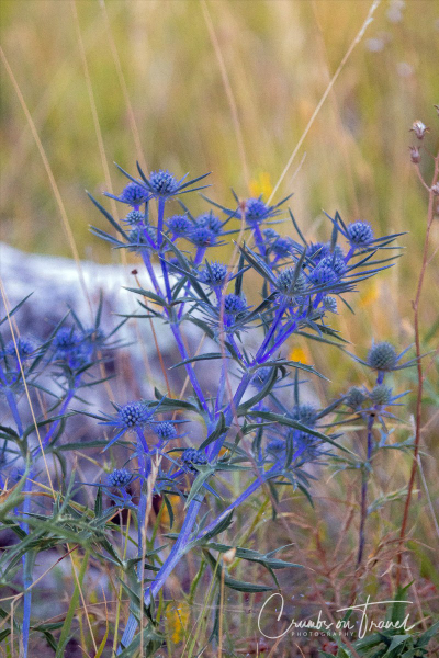 Blue Thistle, The Campo Imperatore High Plateau in the Abruzzo Mountains