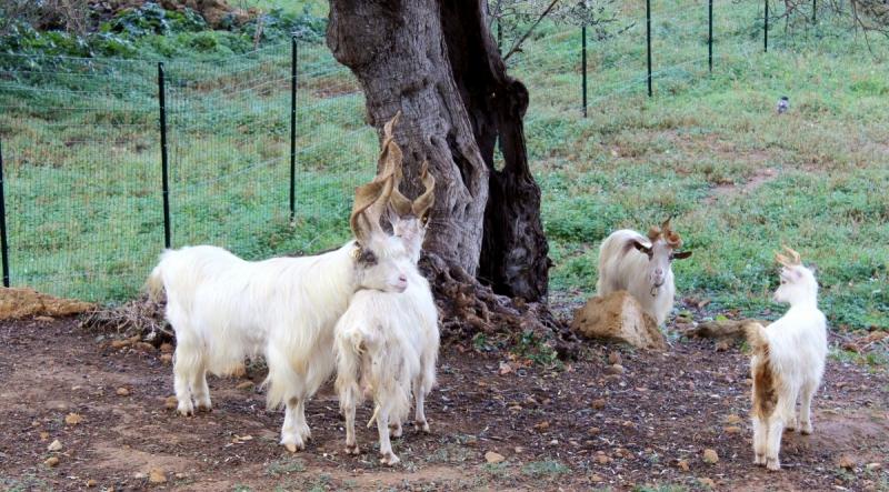 Goat of Agrigento, Sicily/ITaly