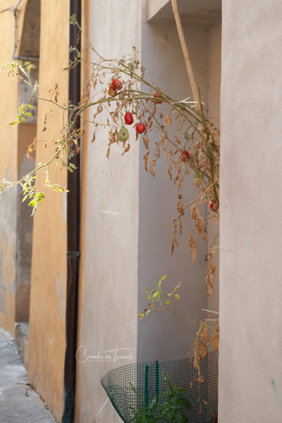 Tomatoes grown in the streets of Castilenti in Abruzzo