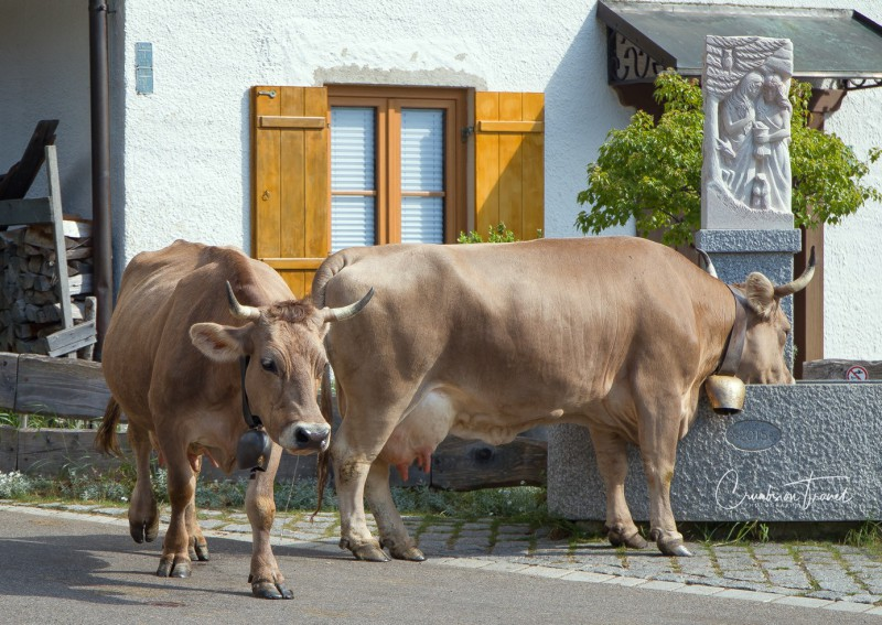 Cows and nature in the Sonthofen area