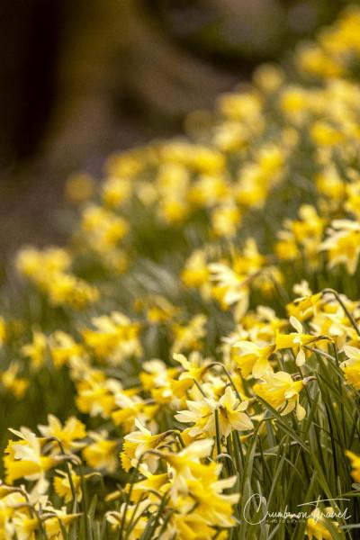 Daffodils in Husum