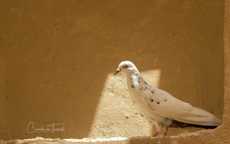 Dove, Dubai