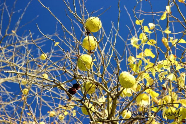 osage orange fruits