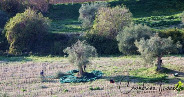 harvesting olives in Italy