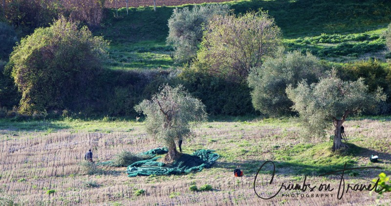 harvesting olives in Italy