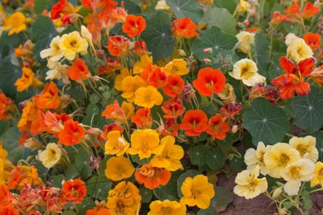 Flower fields of Carlsbad CA USA