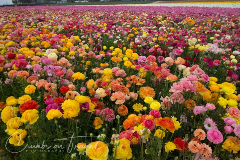 Flower fields of Carlsbad CA USA