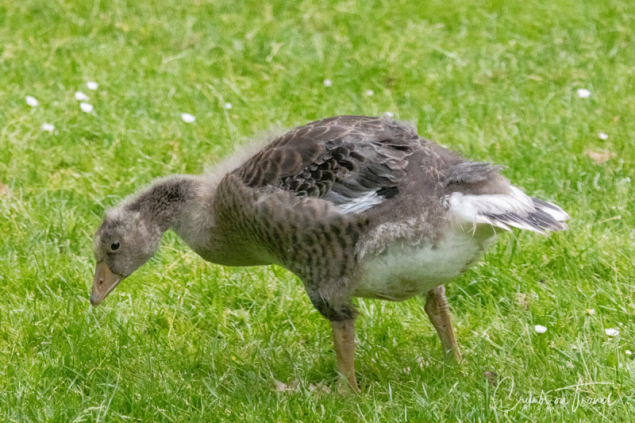 Young and old grayleg geese