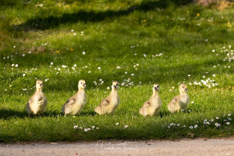 Grayleg Geese in the Park