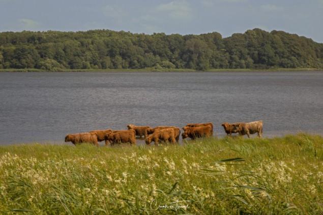 Cows, Haithabu/Hedeby