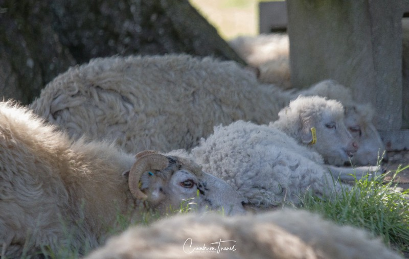 Sheep, Haithabu/Hedeby