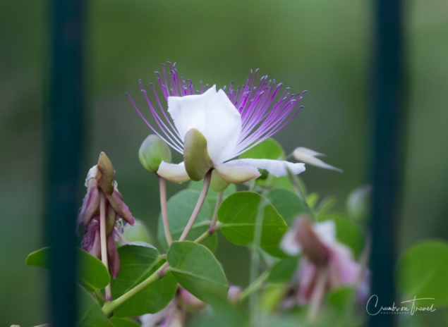 The caper flower