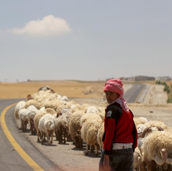Sheep herd, Jordan, Middle East