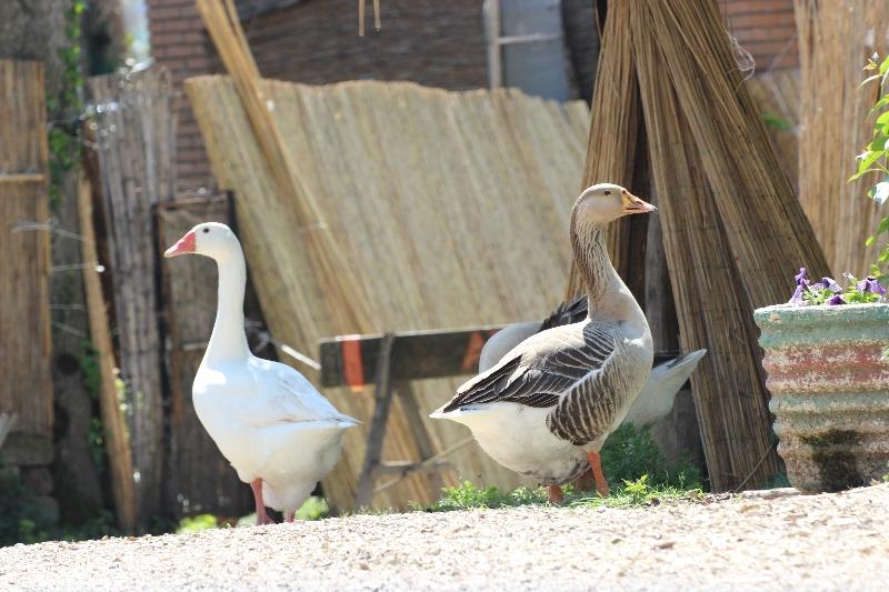 Geese, Lake Trasimeno, Umbria, Italy