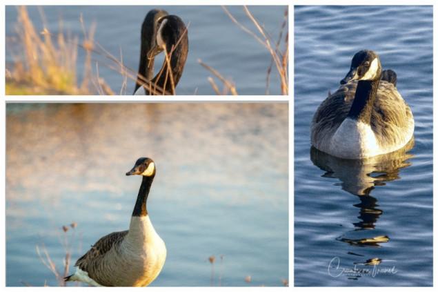 Geese, Maasholm, near Kappeln