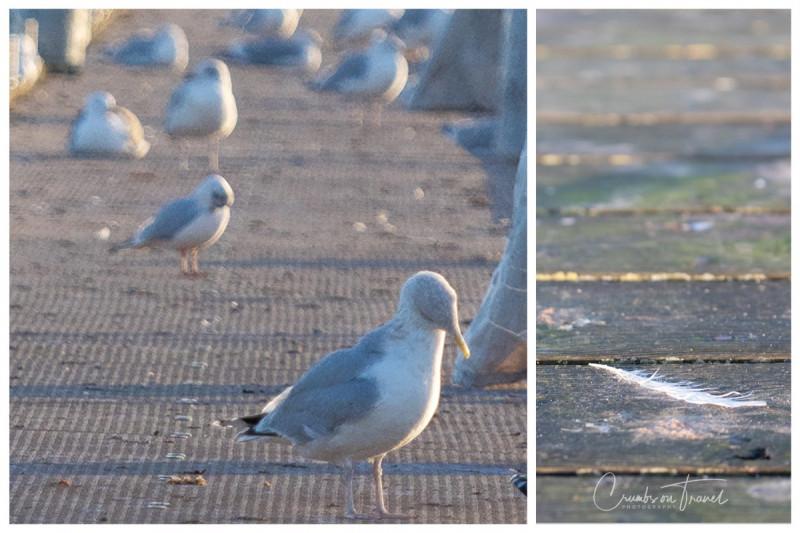 seagulls, Maasholm, near Kappeln