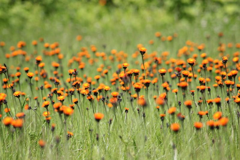 Flowers, Mecklenburg-Vorpommern