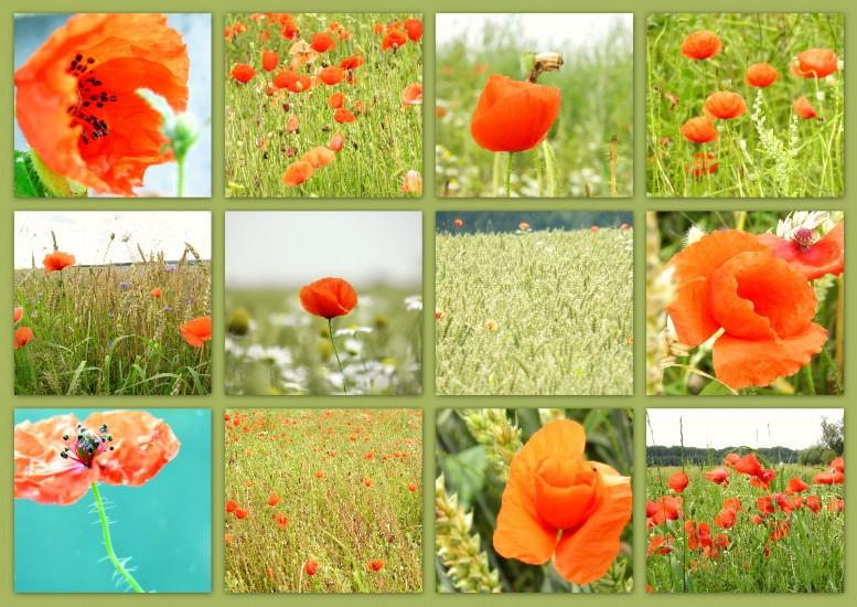 poppies, Mecklenburg-Vorpommern