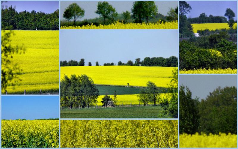 oilseed rape, Mecklenburg-Vorpommern