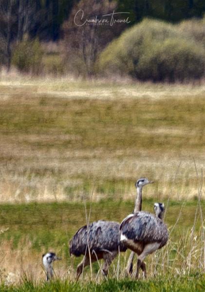 Nandus in the wild in Mecklenburg-Vorpommern