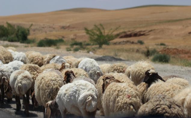 Sheep herd, Jordan