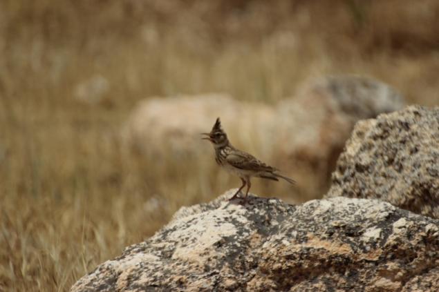 Nightingale, Jordan