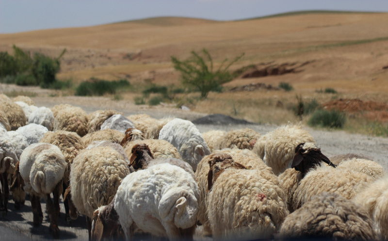 Sheep herd, Jordan