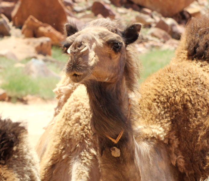 Camel, Jordan