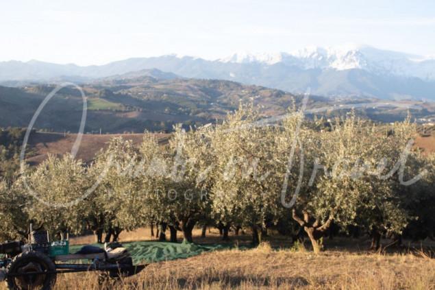 Olive Harvesting 2021