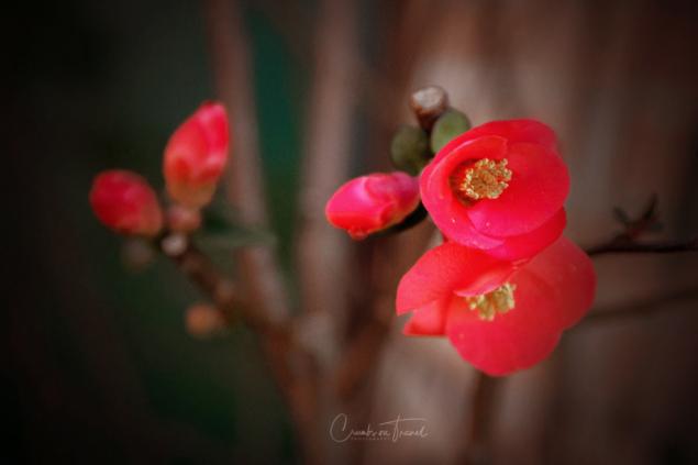 Japanese cherry flower