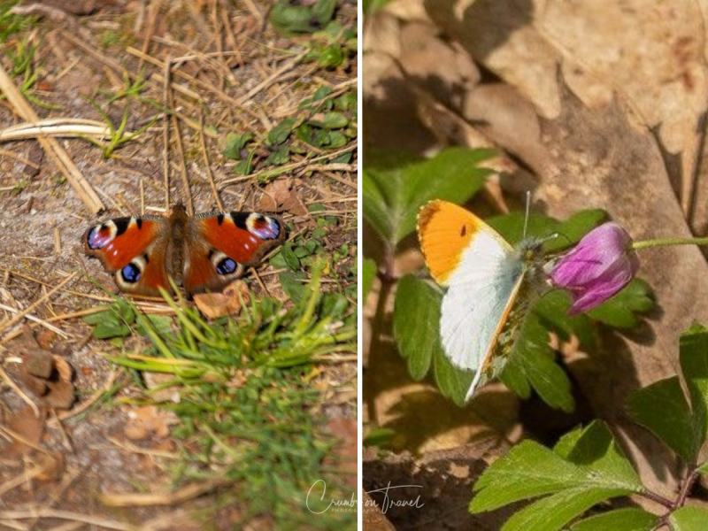 Peacock butterfly and Orange tip butterfly