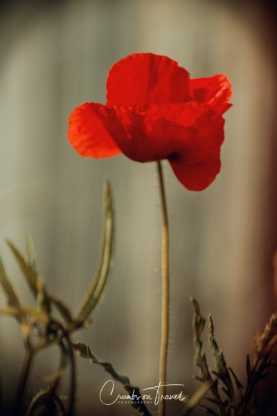 Poppies in Photography
