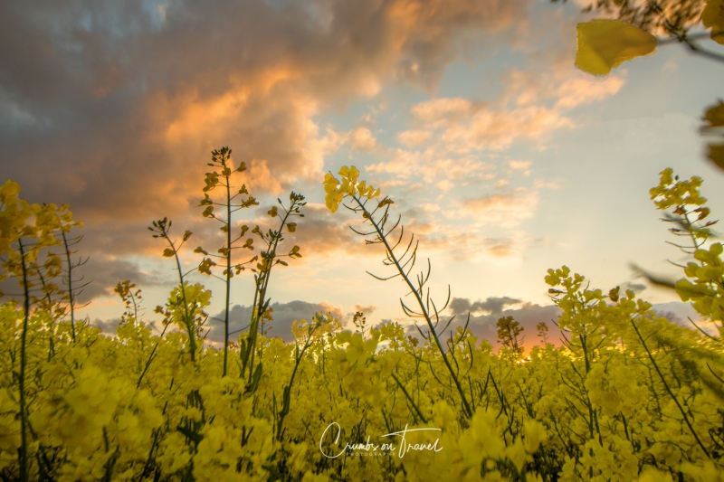 An evening in the rape field