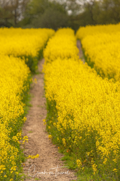 Rape fields in North Germany