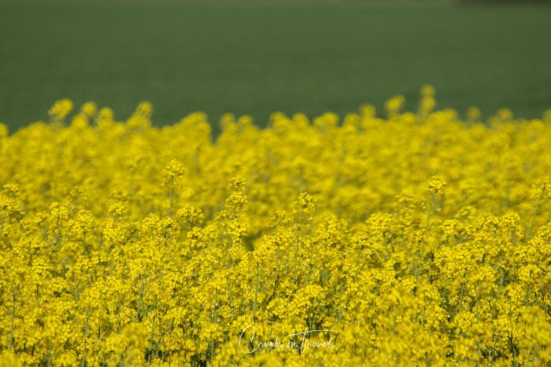 Rape fields in North Germany