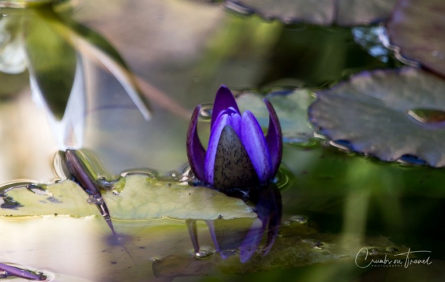 San Diego Zoo Safari Park - water lily